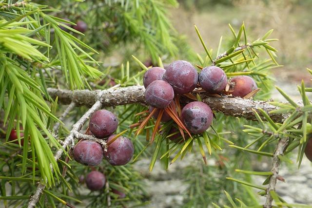 A boróka bogyónak is fájdalomcsökkentő hatása van.