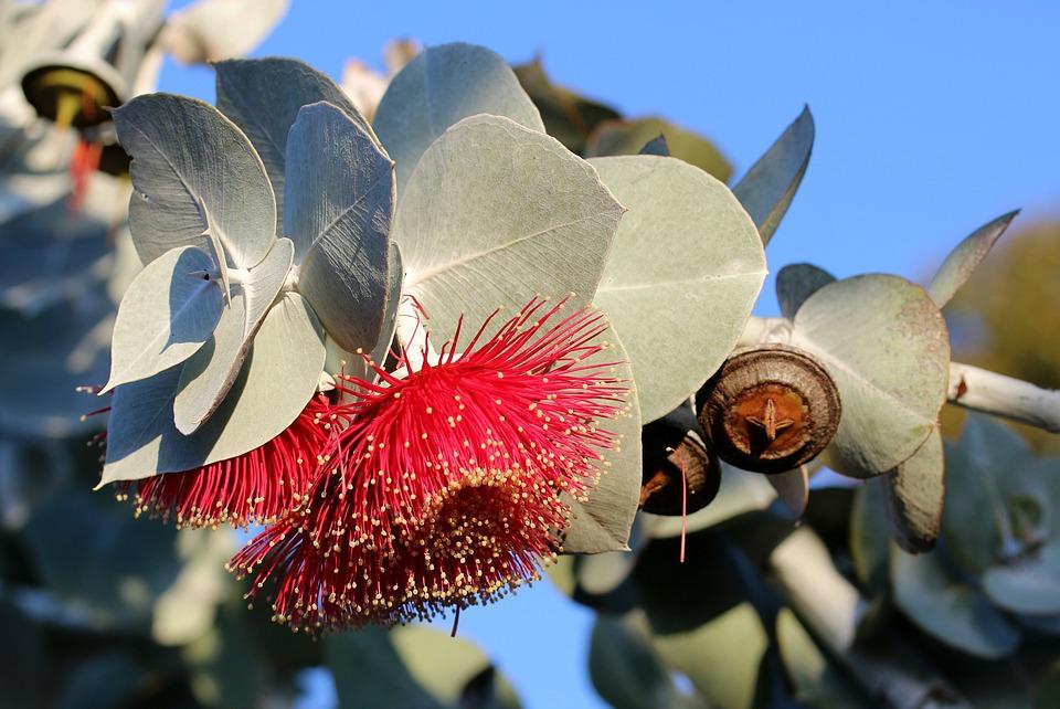 Eukaliptusz virág és ág