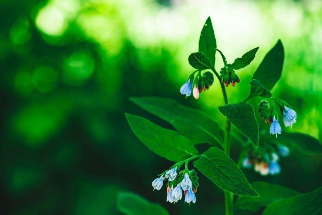 Kék virágú feketenadálytő.