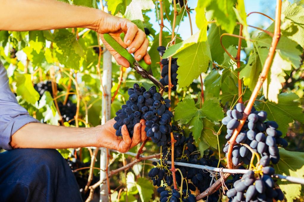 Szőlősgazda levág egy szép, nagy vörös szőlő fürtöt a tőkéről