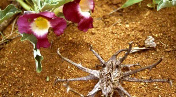 Sivatagi homokon rózsaszínű ördögcsáklya virág és termés.