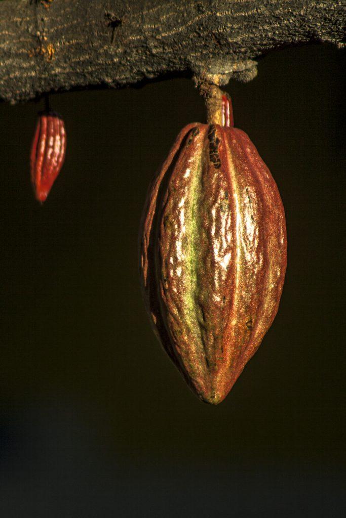 kakaobab