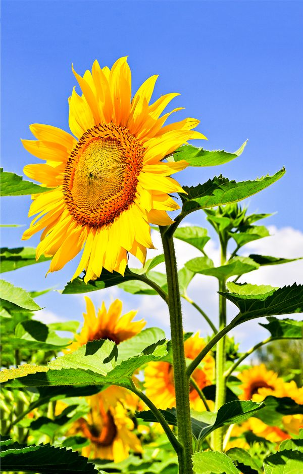 Egy növény, mely rajongva követi a legfényesebb csillag minden mozdulatát